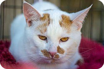 Domestic Mediumhair Cat for adoption in Bronx, New York - Simba