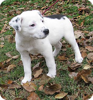 Australian Shepherd/Australian Cattle Dog Mix Puppy for adoption in Hartford, Connecticut - Abra