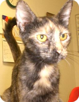 Domestic Shorthair Cat for adoption in Knoxville, Iowa - Grace