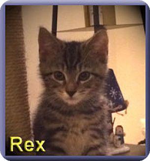 Domestic Shorthair Kitten for adoption in Aldie, Virginia - Rex
