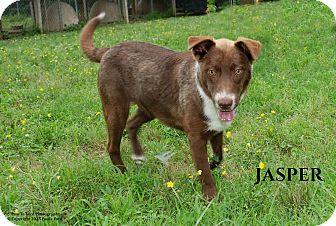 Australian Shepherd/Husky Mix Dog for adoption in Columbia, Tennessee - Redford