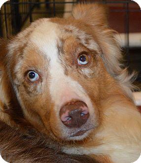Australian Shepherd Dog for adoption in Prole, Iowa - Murdock