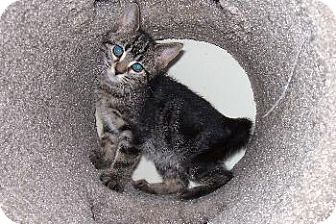 Domestic Shorthair Kitten for adoption in Island Heights, New Jersey - Jake