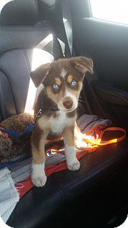 Husky/German Shepherd Dog Mix Puppy for adoption in Regina, Saskatchewan - Rosie