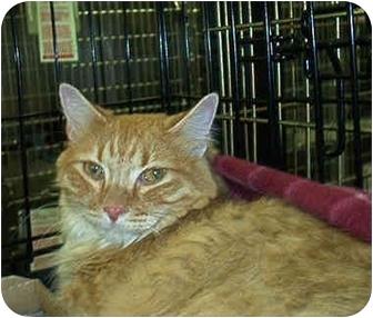 Domestic Shorthair Cat for adoption in Overland Park, Kansas - Princess