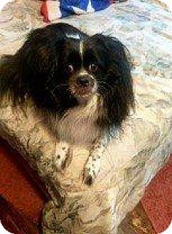 Cavalier King Charles Spaniel/Pomeranian Mix Dog for adoption in Hampton, Virginia - OREO