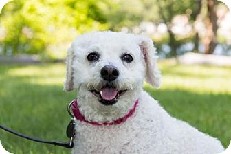 Bichon Frise Mix Dog for adoption in Lowell, Massachusetts - Rex