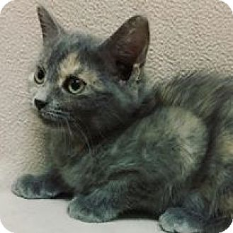 Domestic Shorthair Kitten for adoption in Cannelton, Indiana - Lulu