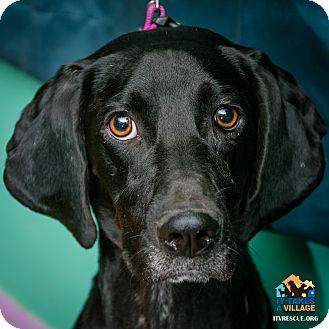 Hound (Unknown Type)/Labrador Retriever Mix Dog for adoption in Evansville, Indiana - Pepsi