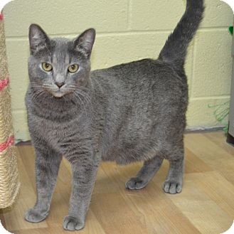 Domestic Shorthair Cat for adoption in Wheaton, Illinois - Dominic