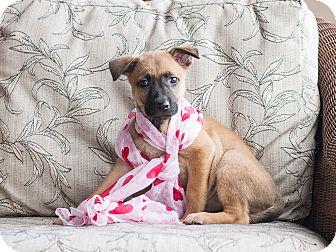 German Shepherd Dog Puppy for adoption in Chandler, Arizona - Athena