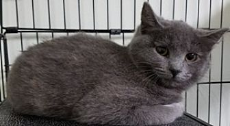Domestic Shorthair Cat for adoption in Sistersville, West Virginia - Amelia