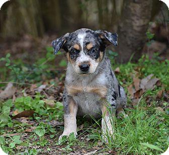 Australian Shepherd/Australian Cattle Dog Mix Puppy for adoption in Groton, Massachusetts - Nick