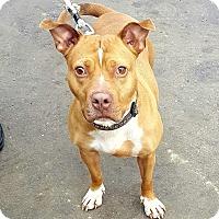 Adopt A Pet :: Cinnamon - Bronx, NY