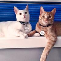 Adopt A Pet :: Snowball - Sherwood Park, AB