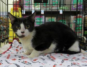 Domestic Shorthair/Domestic Shorthair Mix Cat for adoption in Ellicott City, Maryland - Kansas