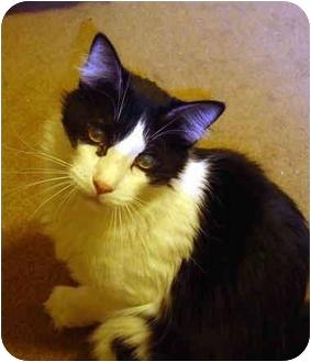 Domestic Mediumhair Cat for adoption in Quail Valley, California - Rascal AKA Sir Big Foot