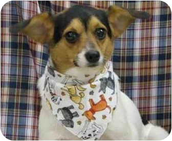 Jack Russell Terrier Mix Dog for adoption in Newland, North Carolina - Rascal