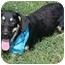 Photo 2 - Basset Hound/Blue Heeler Mix Puppy for adoption in New York, New York - Rider