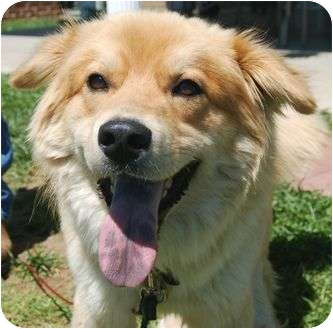 Chow Chow/Hound (Unknown Type) Mix Dog for adoption in Spring Valley, New York - Max