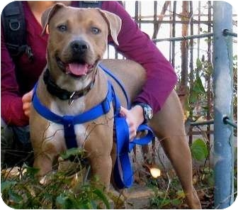 American Staffordshire Terrier/Hound (Unknown Type) Mix Dog for adoption in Long Beach, New York - Precious