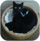 Domestic Shorthair Cat for adoption in Vancouver, British Columbia - Samantha