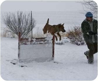 Belgian Malinois Mix Dog for adoption in Hamilton, Montana - Nikki-AGILITY Dog