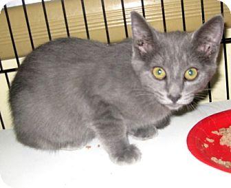 Russian Blue Kitten for adoption in Dallas, Texas - Kiwi