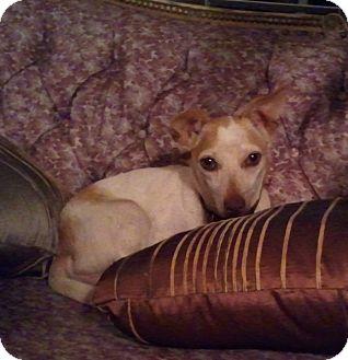 Chihuahua Dog for adoption in Bardonia, New York - Tucker