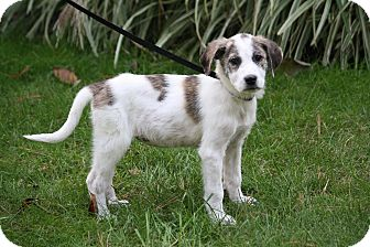 Great Pyrenees/Labrador Retriever Mix Puppy for adoption in West Milford, New Jersey - ZOEY 9 wks