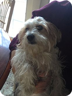 Yorkie, Yorkshire Terrier Dog for adoption in Garwood, New Jersey - Tony