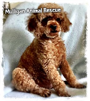 Poodle (Miniature) Dog for adoption in Mount Royal, New Jersey - Sweetie (adoption pending)
