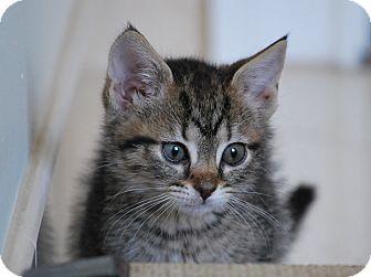 Domestic Shorthair Kitten for adoption in Trevose, Pennsylvania - Teenie