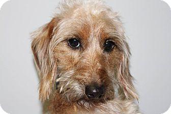 Dachshund Mix Dog for adoption in HARRISONVILLE, Missouri - Jax