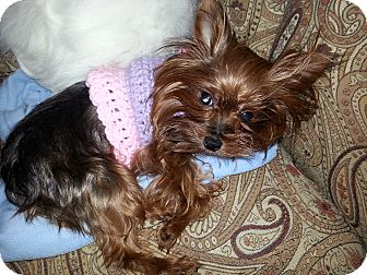 Yorkie, Yorkshire Terrier Dog for adoption in Youngwood, Pennsylvania - Pebbles