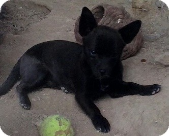 Pomeranian/Chihuahua Mix Puppy for adoption in Las Vegas, Nevada - Badger