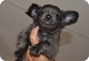 Chihuahua/Pomeranian Mix Puppy for adoption in Westfield, Indiana - Trey