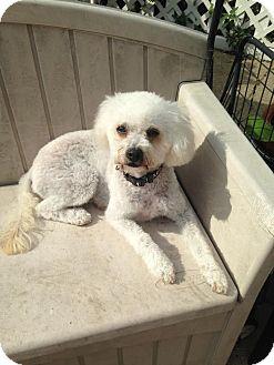 Bichon Frise Dog for adoption in Chicago, Illinois - Honey