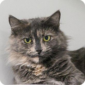 Domestic Mediumhair Cat for adoption in Staunton, Virginia - Zadora