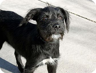 Schnauzer (Miniature)/Terrier (Unknown Type, Small) Mix Puppy for adoption in Salem, New Hampshire - PUPPY PIXIE