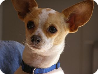 Chihuahua/Rat Terrier Mix Dog for adoption in El Cajon, California - Jimmy