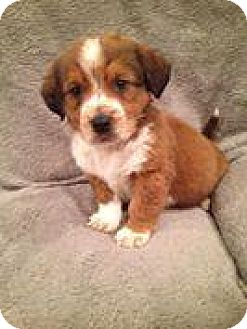 Labrador Retriever/Spaniel (Unknown Type) Mix Puppy for adoption in Marlton, New Jersey - Shorty