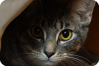 Domestic Shorthair Kitten for adoption in Elyria, Ohio - Bailey