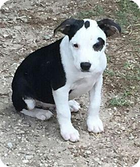 Boston Terrier/Pit Bull Terrier Mix Puppy for adoption in Seguin, Texas - Bob