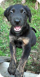 Labrador Retriever Mix Puppy for adoption in waterbury, Connecticut - Cisco