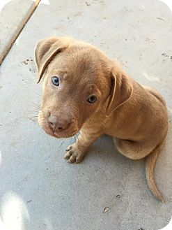 Pit Bull Terrier Mix Puppy for adoption in Gilbert, Arizona - Gourdy