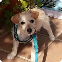 Adopt A Pet :: Coco - Burbank, CA