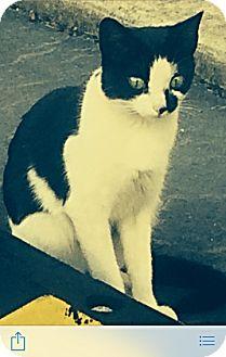 Domestic Shorthair Cat for adoption in McDonough, Georgia - Zara