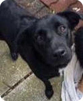 Labrador Retriever Mix Dog for adoption in Redmond, Washington - Addy