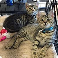 Adopt A Pet :: Houdini - Horsham, PA